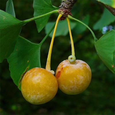 Venkovní bonsai - Jinan dvoulaločný - Ginkgo biloba - 5