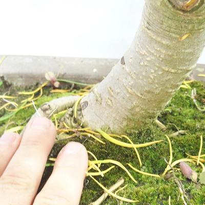 Venkovní bonsai - Pseudolarix amabilis - Pamodřín - 6