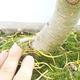 Venkovní bonsai - Pseudolarix amabilis - Pamodřín - 6/6