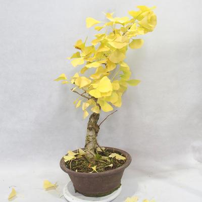 Venkovní bonsai - Jinan dvoulaločný - Ginkgo biloba - 6