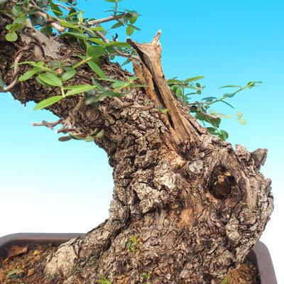 Izbová bonsai - Olea europaea sylvestris -Oliva európska drobnolistá - 6