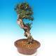 Pokojová bonsai - Olea europaea sylvestris -Oliva evropská drobnolistá - 6/7