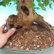 Vonkajšie bonsai - Javor Buergerianum - Javor Burgerův - 6/6
