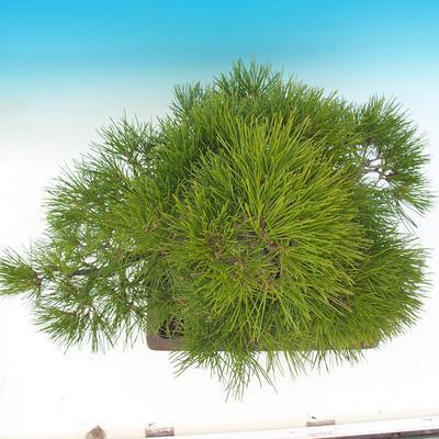 Venkovní bonsai - Pinus thunbergii - Borovice thunbergova - 6