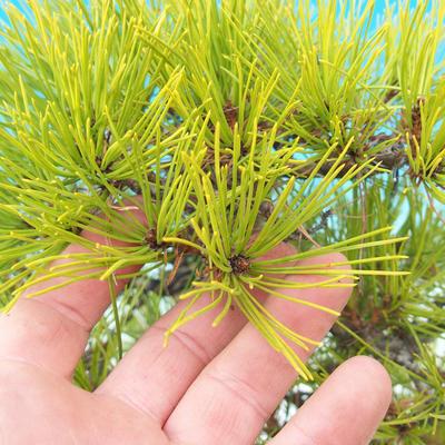 Venkovní bonsai - Pinus densiflora - borovice červená - 6