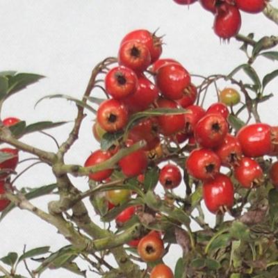 Venkovní bonsai - Hloh bílé květy - Crataegus laevigata - 6
