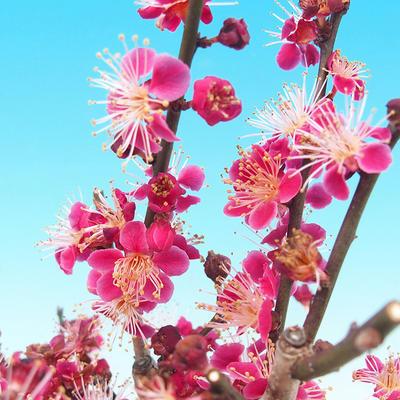 Venkovní bonsai -Japonská meruňka - Prunus Mume - 6