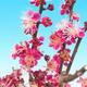 Venkovní bonsai -Japonská meruňka - Prunus Mume - 5/5