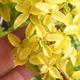 Izbová bonsai - Ligustrum Aurea - Vtáčí zob - 6/6
