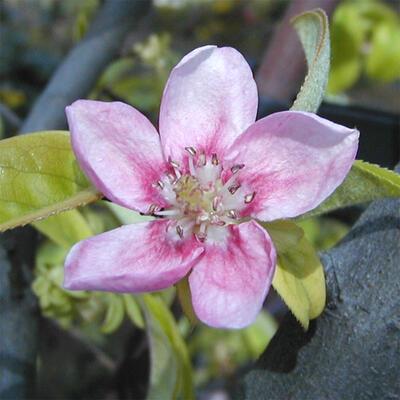 Venkovní  bonsai -  Pseudocydonia sinensis - Kdouloň čínská - 6