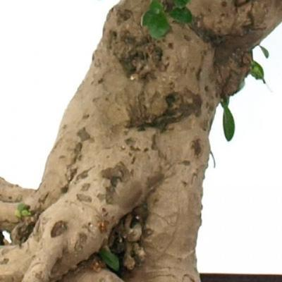 Pokojová bonsai - Carmona macrophylla - Čaj fuki - 6