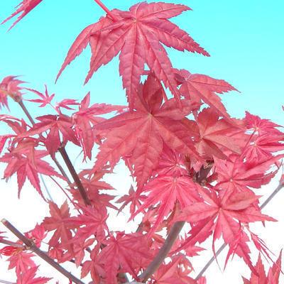 Vonkajšie bonsai - Javor palmatum DESHOJO - Javor dlaňolistý - 6