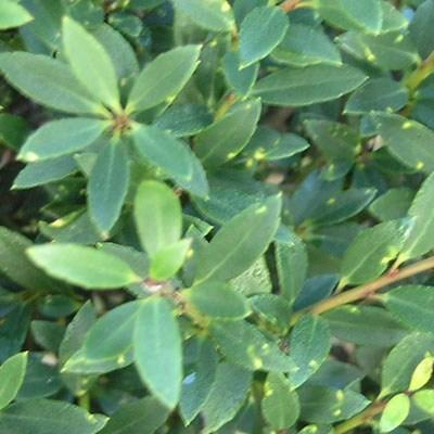 Izbová bonsai - Cezmína - 6