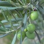 Pokojová bonsai - Olea europaea sylvestris -Oliva evropská drobnolistá - 6
