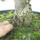 Venkovní bonsai - Hloh růžové květy - Crataegus laevigata paul´s  Scarlet - 7/7