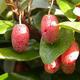 Izbová bonsai -Eleagnus - hlošina - 6/6