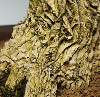 Izbová bonsai - Buxus harlandii - korkový buxus - 7