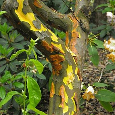 Venkovní  bonsai -  Pseudocydonia sinensis - Kdouloň čínská - 7