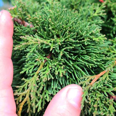 Yamadori Juniperus chinensis - jalovec - 7