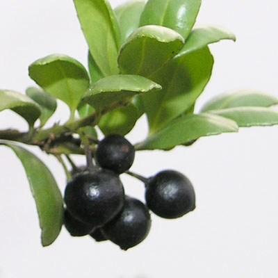 Izbová bonsai - Cezmína - 7
