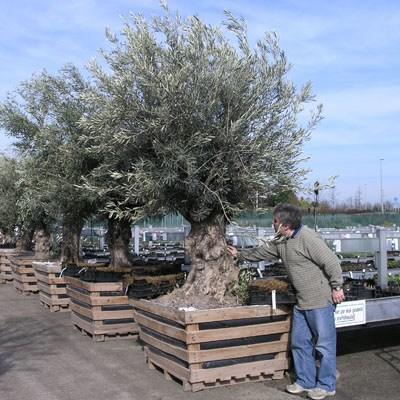 Pokojová bonsai - Olea europaea sylvestris -Oliva evropská drobnolistá - 7
