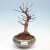SHOHIN Acer palmatum deshojo