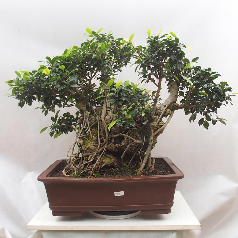 ficus-retusa-bonsai
