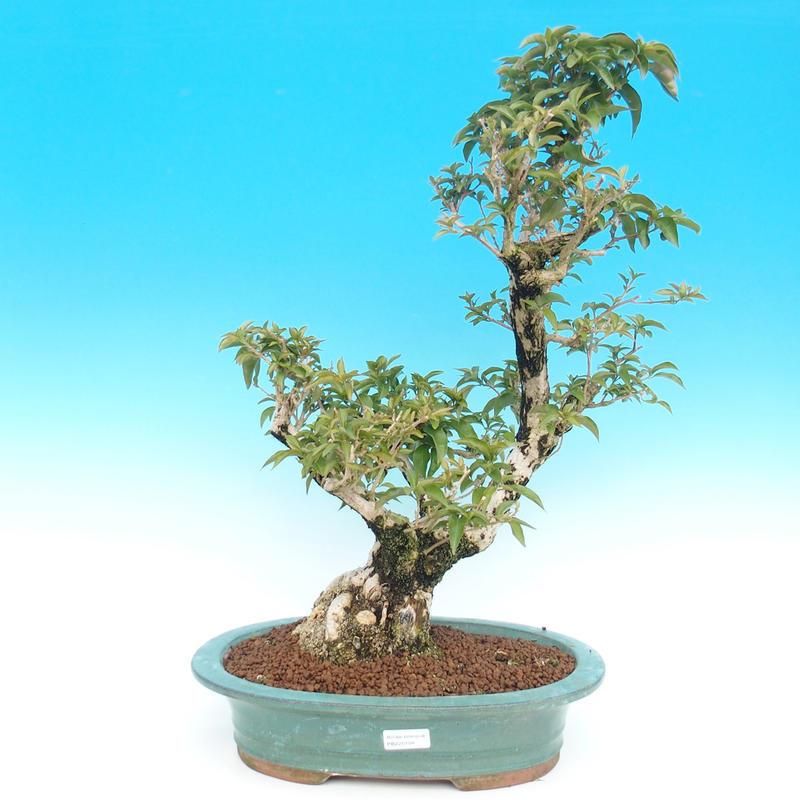 Pokojová bonsai - Bugenvilea