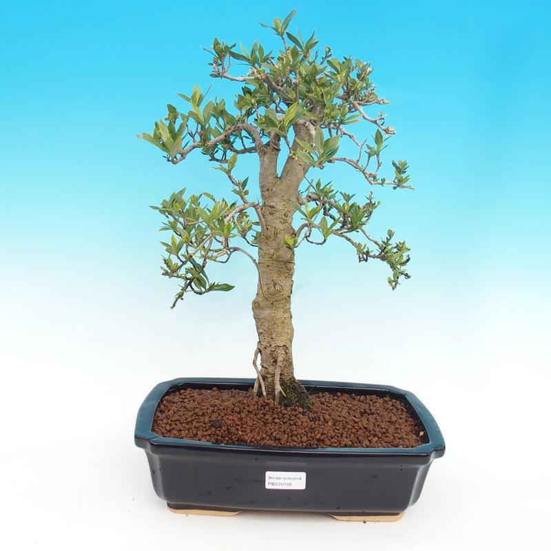 Pokojová bonsai - Gardenia