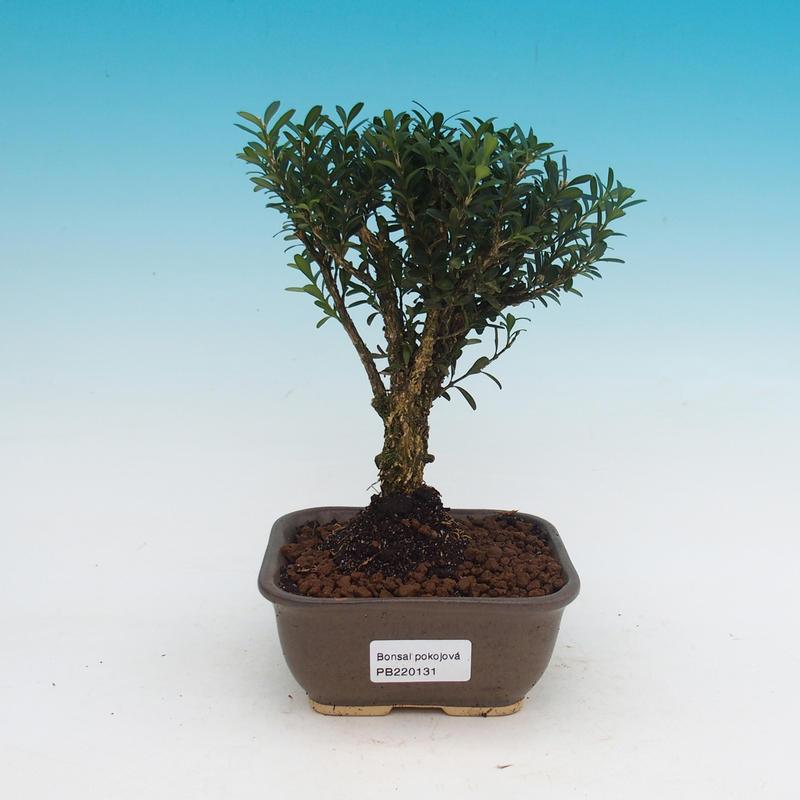 Pokojová bonsai - Buxus harlandii