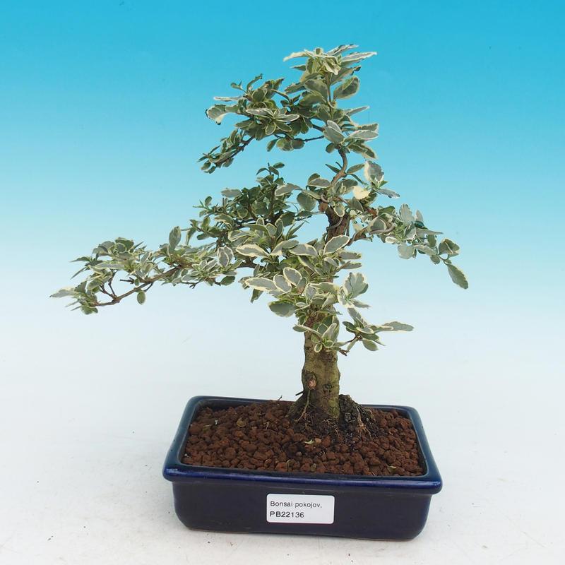 Pokojová bonsai -Ligustrum variegata