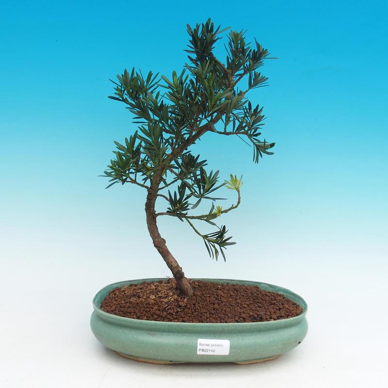 Pokojová bonsai - Podocarpus - Kamenný tis