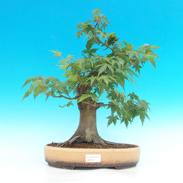 Venkovní bonsai -Javor dlanitolistý VB1479