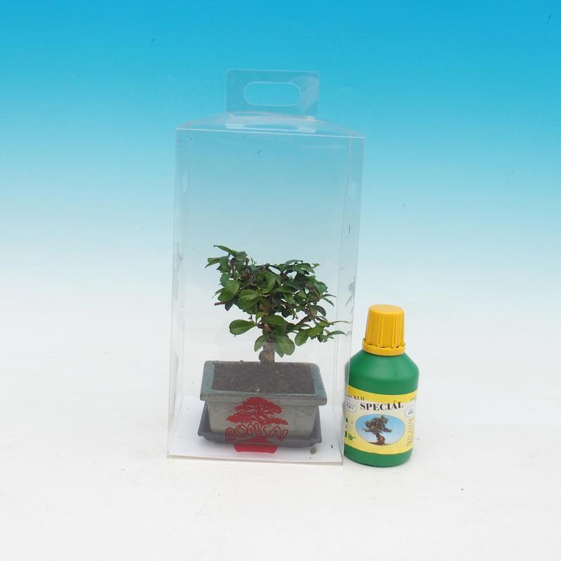 Pokojová bonsai v dárkové krabičce Sagaretia thea - Sagaretie čajová