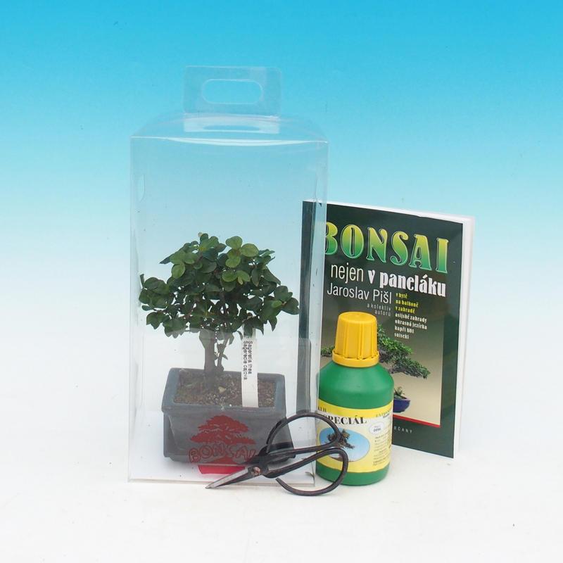 Pokojová bonsai v dárkové krabičce Sagaretie thea - Sagaretie čajová