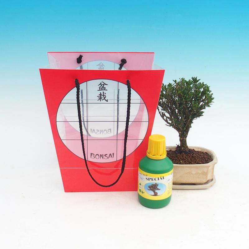 Pokojová bonsai v dárkové tašce Buxus harlandii - pokojový buxus