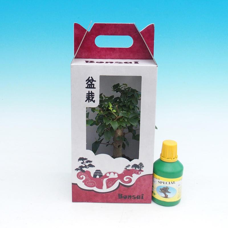 Pokojová bonsai v dárkové krabičce Ligustrum chinensiss - Stále zelený ptačí zob