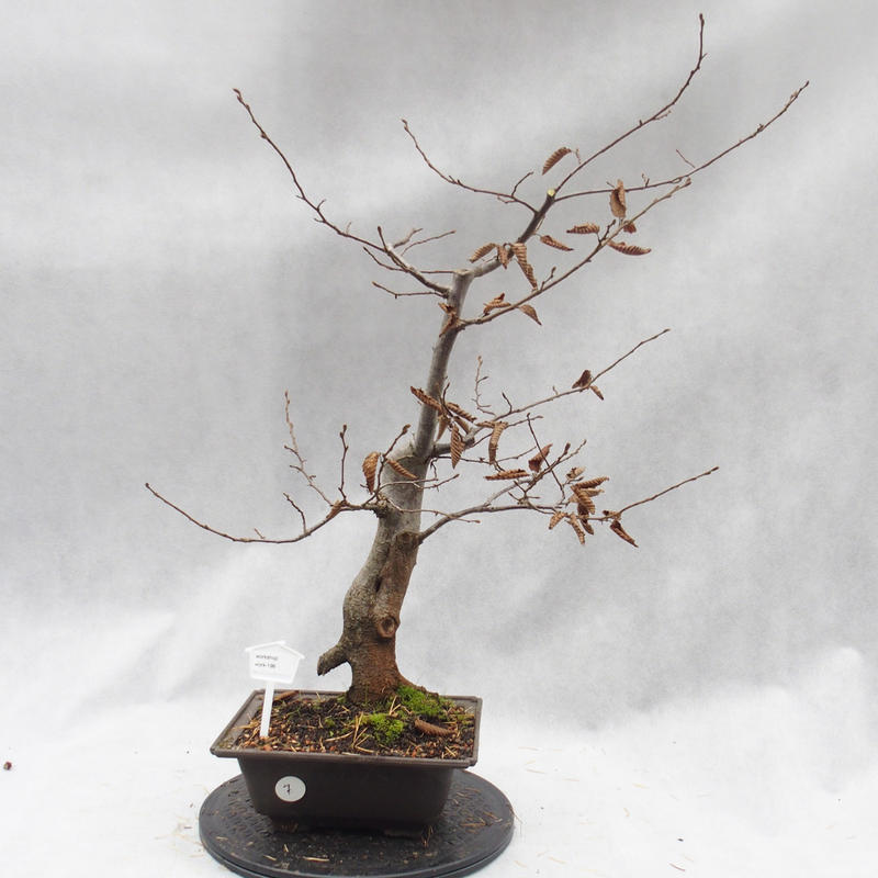 Venkovní bonsai- Habr obecný - Carpinus carpinoides