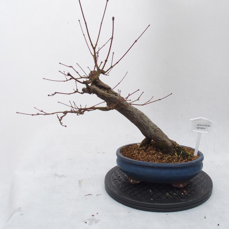Venkovní bonsai - javor dlanitolistý - Acer palmatum