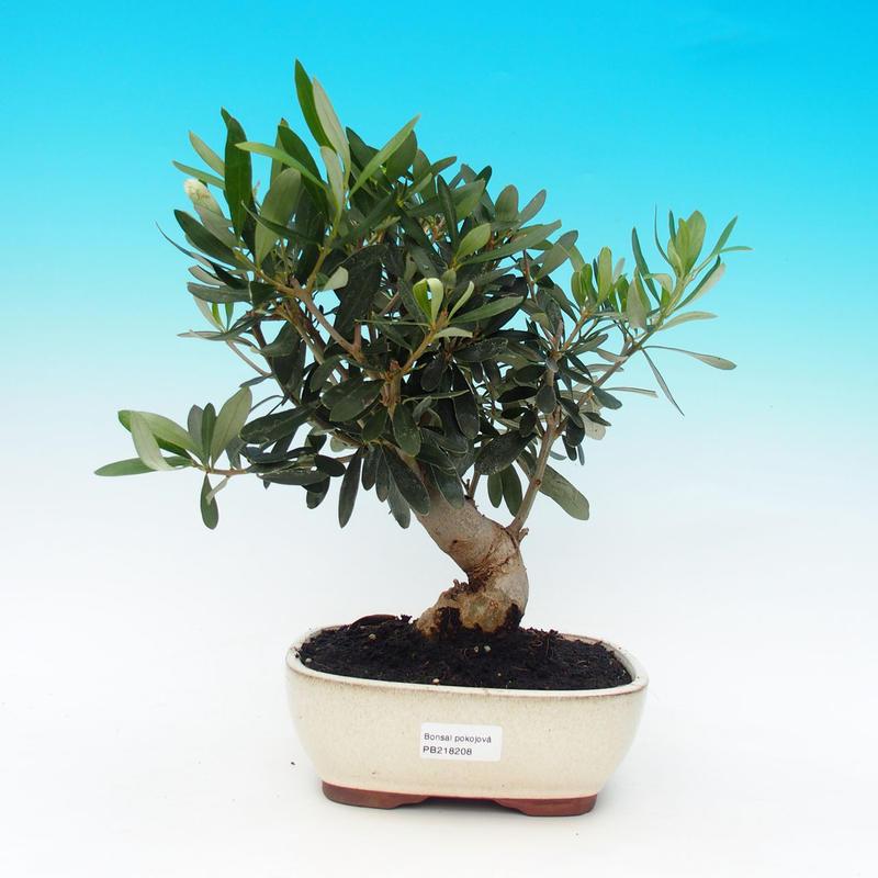 Pokojová bonsai-Oliva evropská
