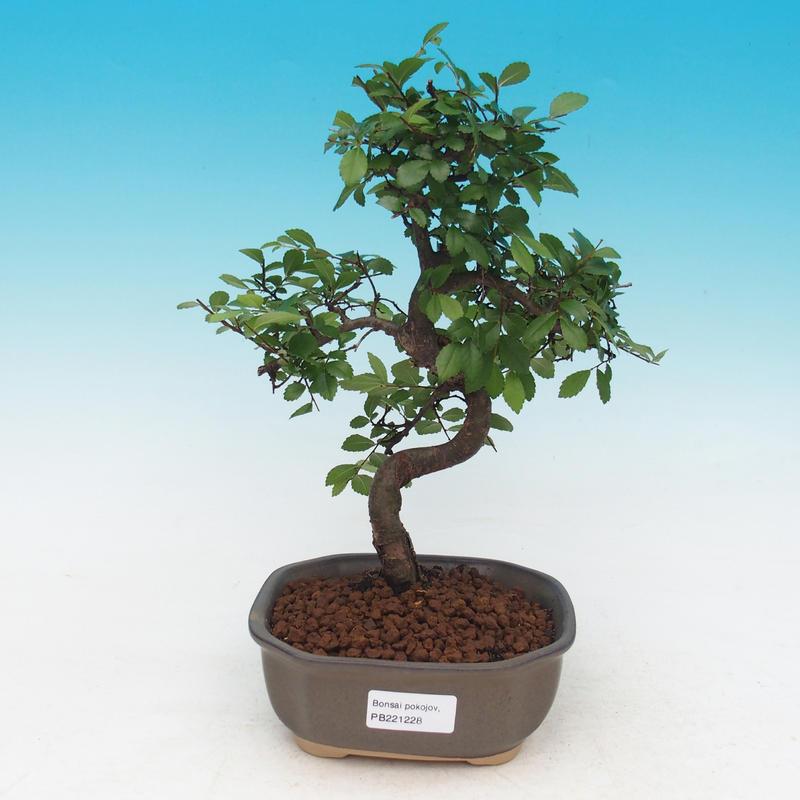 Pokojová bonsai - Malolistý jilm