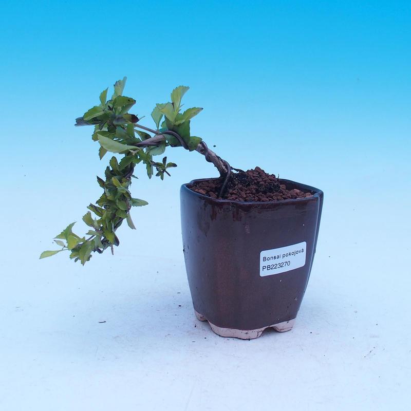 Pokojová bonsai - Duranta erecta Aurea