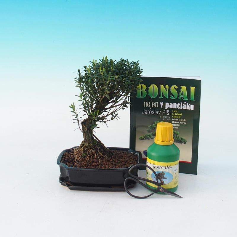 Pokojová bonsai sada Buxus harlandi