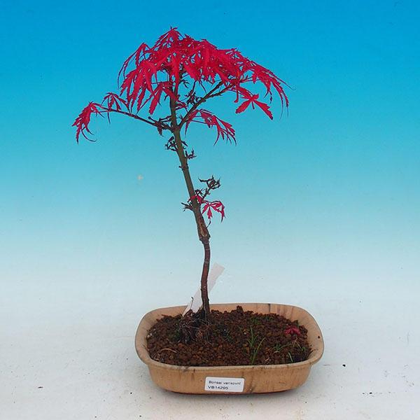 Venkovní bonsai - Javor dlanitolistý VB14295