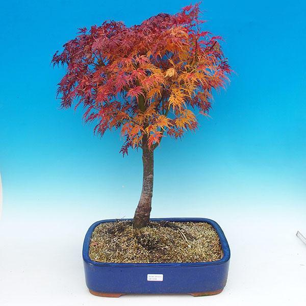 Venkovní bonsai - Javor dlanitolistý VB14298