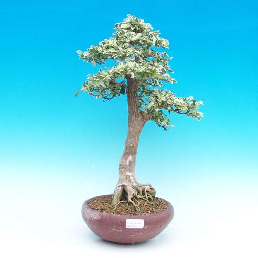 Pokojová bonsai - Duranta variegata PB217330