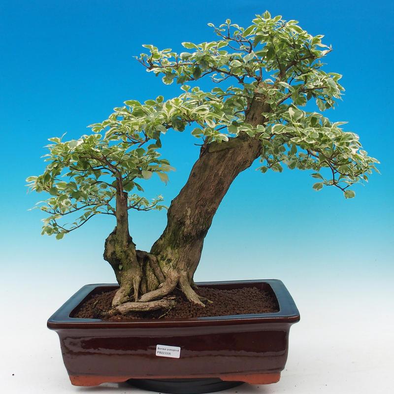 Pokojová bonsai - Duranta variegata