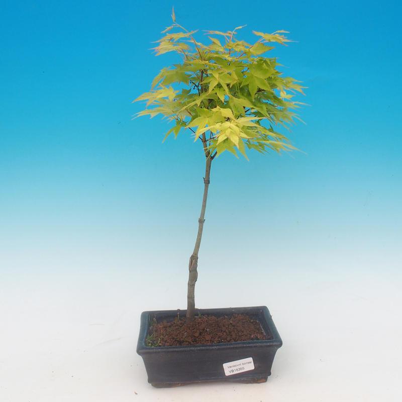 Acer palmatum Aureum - Javor dlanitolistý zlatý