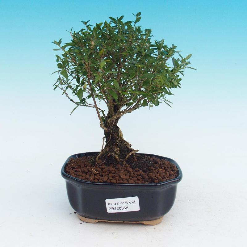 Pokojová bonsai - Serissa foetida - Strom tisíce hvězd