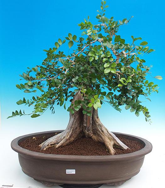 Pokojová bonsai - Muraya paniculata
